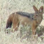 The silverbacked jackal is also known as Canis mesomelas