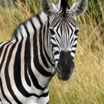 Horse and donkey are the closest relatives to zebra