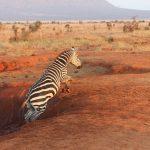 Zebra belongs to Hippotigris and Dolichohippus subgenus