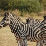 The stripes of a zebra confuse predators by motion dazzle and the vertical stripes of zebra disrupts its outline when hiding in the grass
