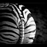 A zebra can turn its ears in almost any direction