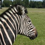 Grevy's zebra is an inhabitant of northern Kenya and Ethiopia