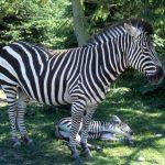 The largest type of zebras are Grévy's zebra