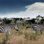 Wildebeest and Zebras in Maasai Mara, analogue Shot from 1995