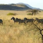 A group of zebras standing together appear as one mass of flickering stripes to the predators making it more difficult for them to pick out a target