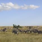 Zebras prefer to graze with each other