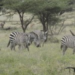 Zebras have a herd mentality