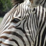 The mountain zebra tends to have a sleek coat