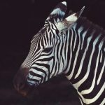 Mountain zebra and the Grevy's zebra are endangered