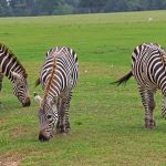 The traditional hypotheses of the evolution of the stripes of zebras relates to camouflage