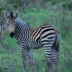Grévy's zebra is the only species of subgenus Dolichohippus