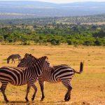 Zebras only sleep when neighbors are around
