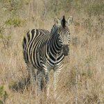Equus quagga boehmi is the scientific name of Grant's zebra