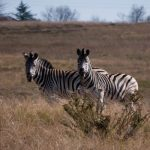 "The ultimate origin of the name ""zebra"" is unknown"