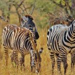 Although zebra's have night vision it is not as advanced as that of their predators
