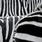 Zebras are subject to the same common diseases and infections of the domestic horse