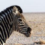 A zebra's stripes are unique to each individual