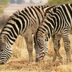 The camouflage hypotheses of the evolution of zebra's stripes has been contested
