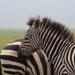 Fertile hybrids occur between plains zebras and Grevy's zebra in certain regions of Kenya