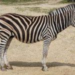 The narrow long heads of Grevy's zebra make it appear mule-like