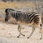 Woodlands is one of the habitats of zebras