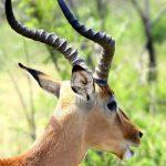 Impala was first described by a German zoologist Martin Hinrich Carl Lichtenstein.