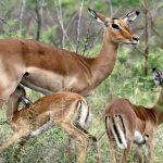 Impala buck.