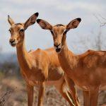 Antelopes.