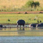 Hippos have unique skin.