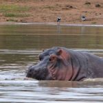 Hippos love water.