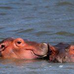 Hippo Family pics.