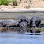 Five hippos.