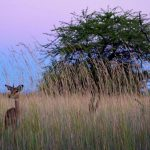 The name Impala comes from Zulu language.