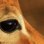 Impala eye close-up.