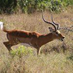 Impala in Ol Pejeta in Kenya.