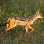 In the morning sun jackal is going for a hunt.