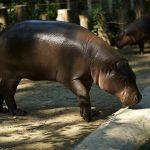 Pigmy hippopotamus.