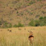 Safari impala.