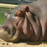 Sleepy hippo.