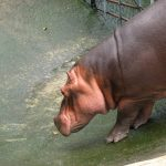 Thirsty hippo.