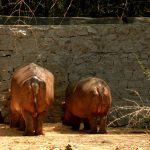 Two hippos.