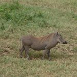 The warthog parent looking for a way for the family.