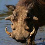 Warthog close ups of head, tusks & eye.