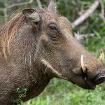 An adult female warthog weighs between 99 – 170 lbs.
