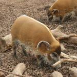 Warthogs In a zoo.