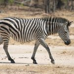 A zebra foal is not black and white but brown and white at birth