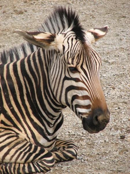 The zig-zag forward grazing pattern of a Hartmann's mountain zebra follows the contours of the terrain