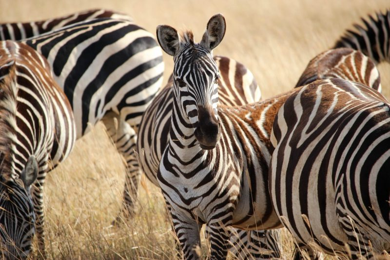 Grevy's Zebra is the world's rarest zebra and the most beautiful of them all