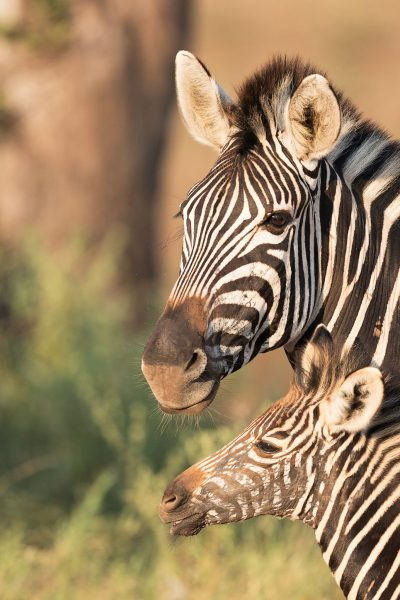 An imprinted foal can recognize its mother's distinct scent, vocalizations, and appearance