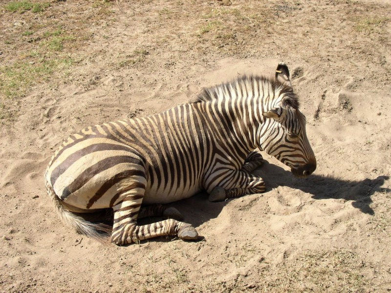 The zebra rolled in black paint, and stripes covered his body
